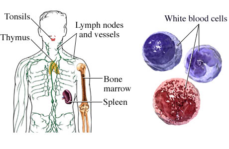 Components of the Immune System http://www.webmd.com/a-to-z-guides/components-of-the-immune-system